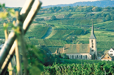 Alsace Vineyard With Church